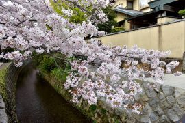 Kyoto cherry blossoms28