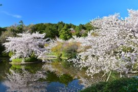 Kyoto cherry blossoms6
