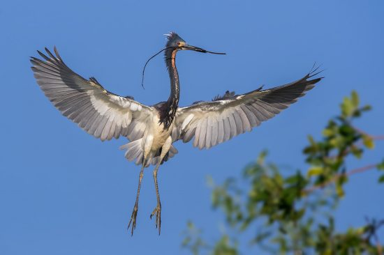 Tri-color heron with a stick (nest building), Stick Marsh, near Melborne FL, US (c) Steve Perry