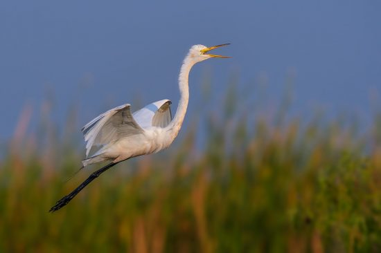 Great egret in flight, Stick Marsh near Melborne, FL, US. (c) Steve Perry