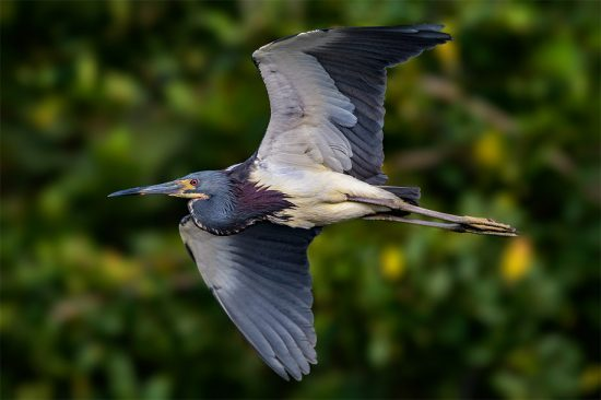 banking-tricolor-heron