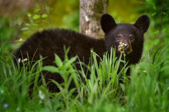 Black Bear Cub With A Flower, Smoky Mountains National Park near Townsend, TN. (c) Steve Perry