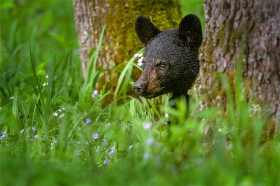 Black Bear cub, Smoky Mountains National Park near Townsend TN. (c) Steve Perry