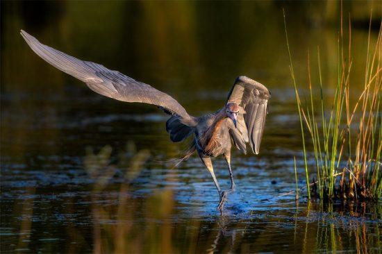 Reddish Egret, Merritt Island NWR, near Titusville, FL, US. (c) Steve Perry