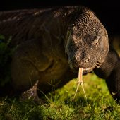 A formidable adult Komodo Dragon at sunrise. D810, 500mm f4 AF-SII.
