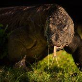 A formidable adult Komodo Dragon at sunrise. D810, 500mm f4 AF-SII.