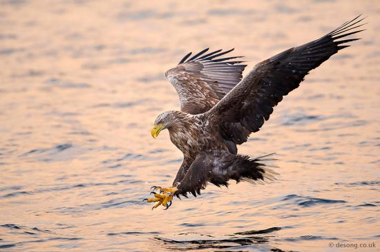 Sea-eagle diving for a fish at sunset. D810, 200-500mm at 380mm.