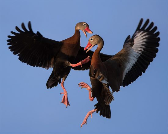 Black-Bellied Whistling Ducks Fighting In The Air in Ritch Grisson Wetlands near Viera FL. (c) Steve Perry