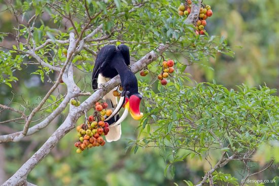 One of the more impressive Hornbills in northern Borneo, the Rhinoceros, feeding on similarly coloured figs.