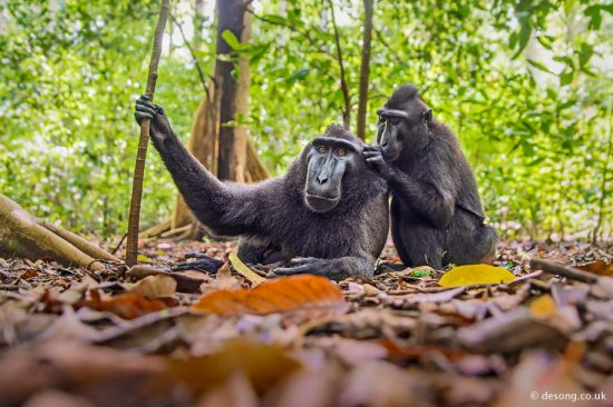 The dominant Crested Macaque being groomed by a female. D750, Tamron 28-75mm.