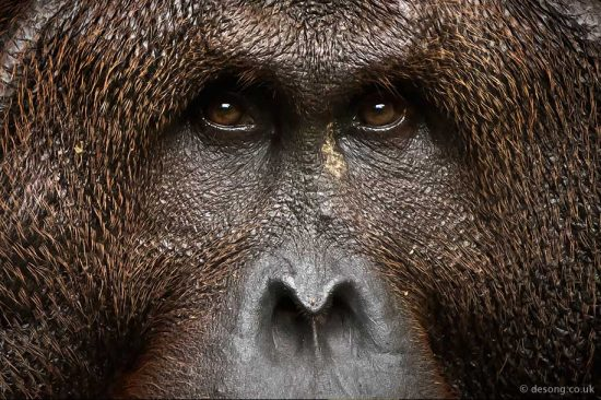Portrait of a dominant male Orang-utan. D810, 200-500mm at 500mm.