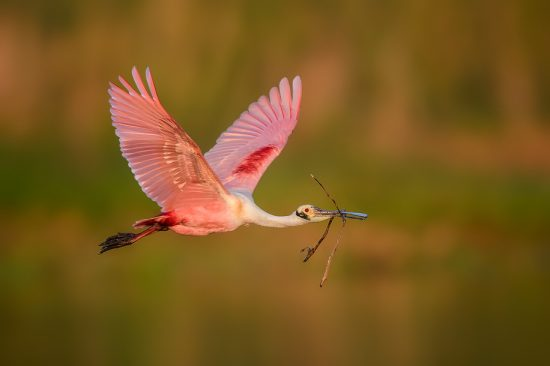 Roseate Spoonbill with nesting material), Stick Marsh, near Melborne FL, US (c) Steve Perry