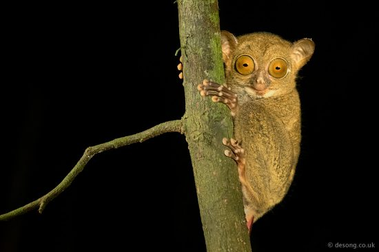 We have been very fortunate to come across this endemic Western Tarsier during one of our night safaris. D750, 150mm macro, torch lit.