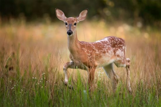 Marching Fawn