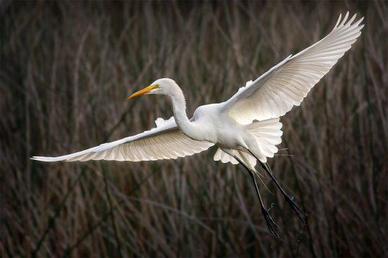 Swooping Egret