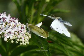 fluturi-2016-014