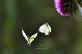 fluturi-2016-019