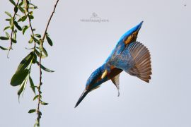 kingfisher-d500_004