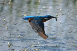 kingfisher-d500_005