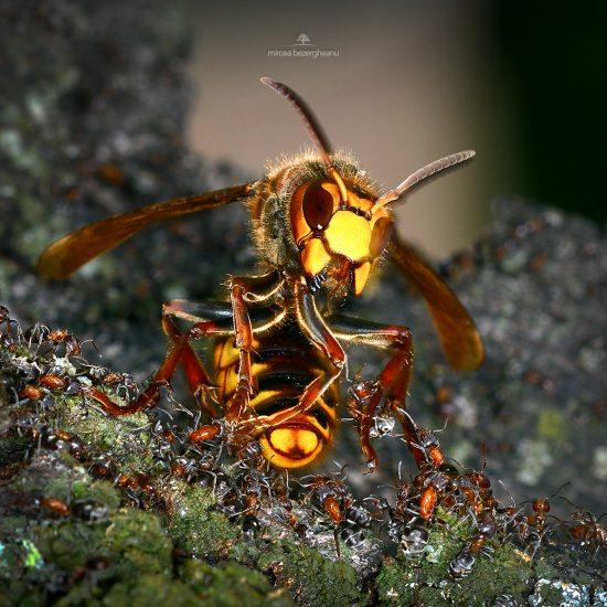vespa-crabro-1