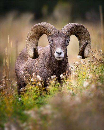 bighorn-ram