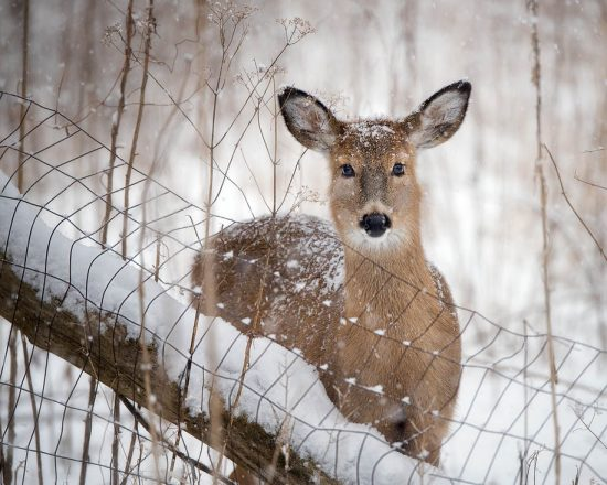 Deer along the fence in the snow, Side Cut Park, near Toledo, OH, US. (c) Steve Perry