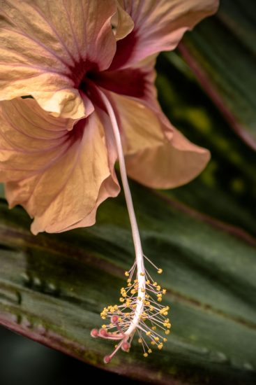 2_hibiscus