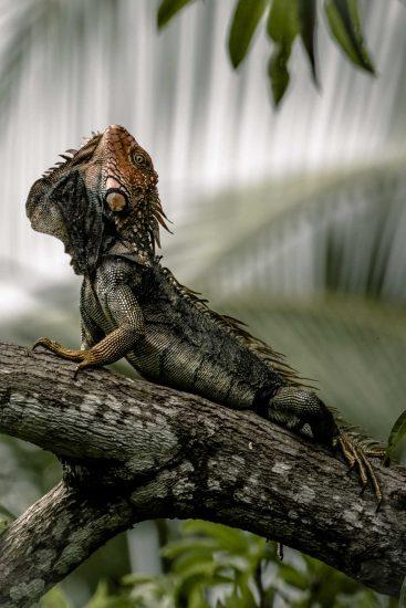 5_iguana