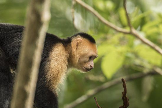 6_capuchin
