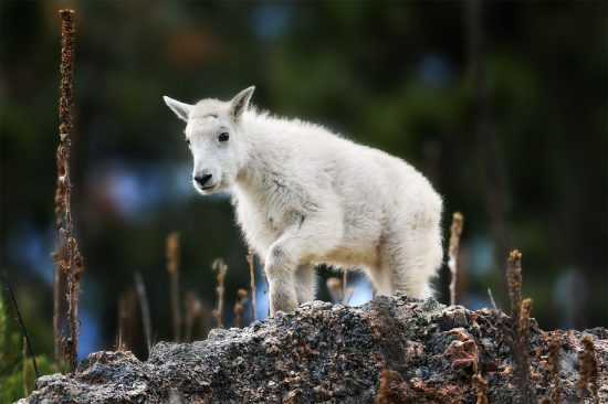 Mountain Goat Kid (Nikon D7500, Nikon 600mm F4 E, 1/2500th, F4, ISO 720)