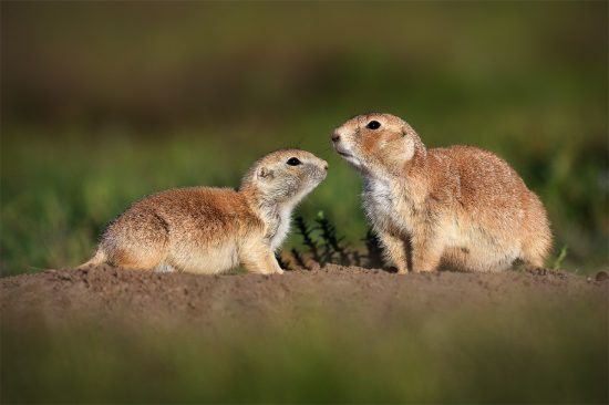 Prairie Dogs (Nikon D7500, Nikon 600mm F4E + 1.4TCIII, 1/2000th, F4, ISO 200)