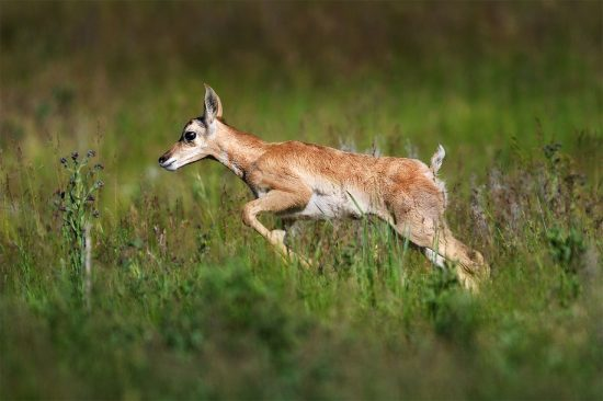 Running Pronghorn Fawn (Nikon D7500, Nikon 600mm F4E, 1/2500th, F4, ISO 400)