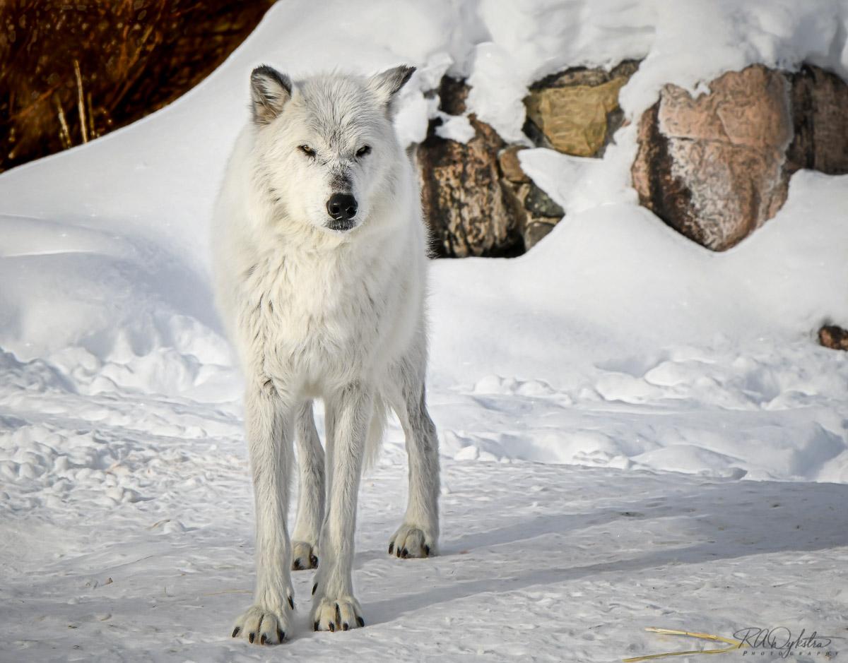 Yellowstone in Winter (part 1) - Nikon Rumors
