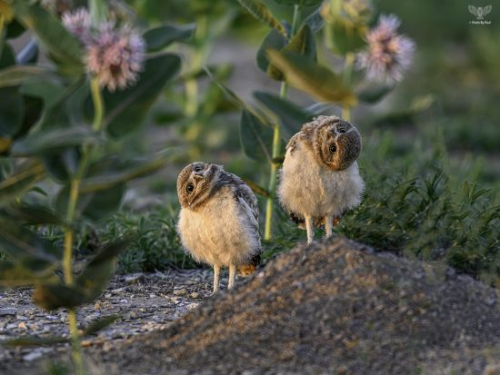 Burrowing Owl Baby — E9 with Nikon z7 + Nikkor 600mm F4E + TC-17e ii — Shot at F6.7 1/160th sec ISO1600 shortly after sunrise — This was cropped to 4436 x 3327px from 8256 x 5504 px