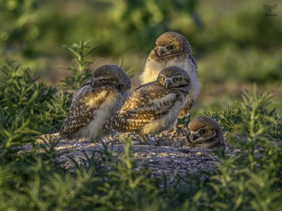 Burrowing Owl Babies — E9 with Nikon z7 + Nikkor 600mm F4E + TC-17e ii — Shot at F6.7 1/320th sec ISO640 shortly after sunrise (4937 x 3703px crop)