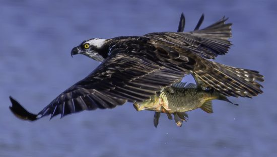 Osprey catches carp — E9 with Nikon z7 + Nikkor 600mm F4E + TC-17e ii