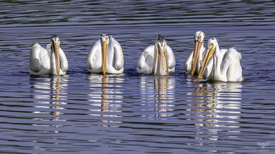 White Pelican Group — E6 with Nikon z7 + Nikkor 600mm F4E + TC-17e ii