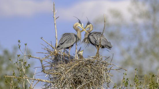 Great Blue Heron Parents 💔 and Young Baby — E6 with Nikon z7 + Nikkor 600mm F4E + TC-17e ii