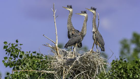 "Great Blue Heron Babies 4½ weeks later, with ""mowhawk haircuts"" — E6 with Nikon z7 + Nikkor 600mm F4E + TC-17e ii"