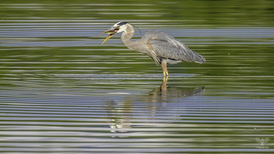 Great Blue Heron Fishing — E6 with Nikon z7 + Nikkor 600mm F4E + TC-17e ii