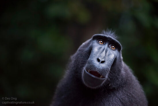 Black Crested Macaque, Sulawesi.