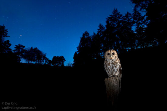 Tawny Owl, England
