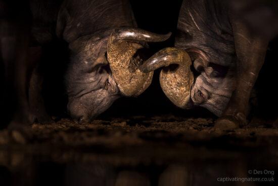 Cape Buffalos, South Africa