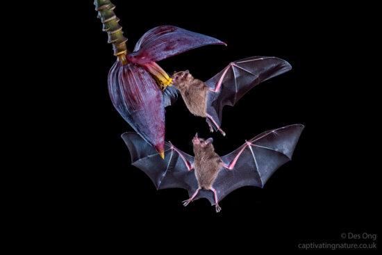 Palla's Long Tongue Bats, Costa Rica