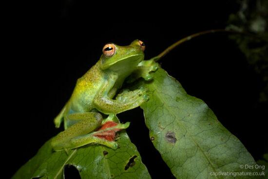 Malayan Flying Tree Frog, Malay Peninsular