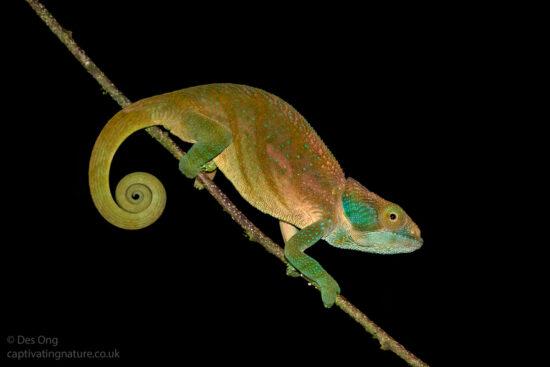 Blue Legged Chameleon, Madagascar